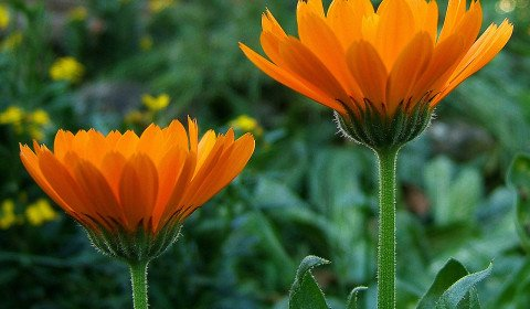 calendula leaf for yeast infection